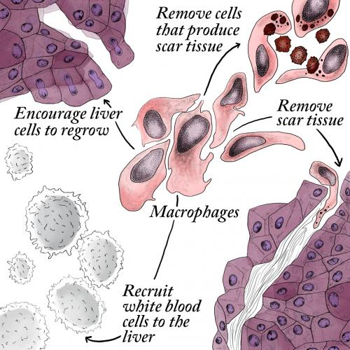 Macrophages repair the liver by encouraging liver cell regrowth and removing scar tissue